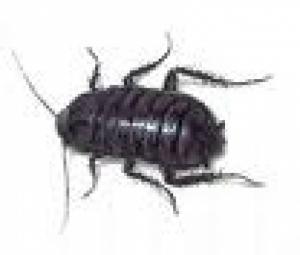 Oryantal Hamam Böceği Hakkında
